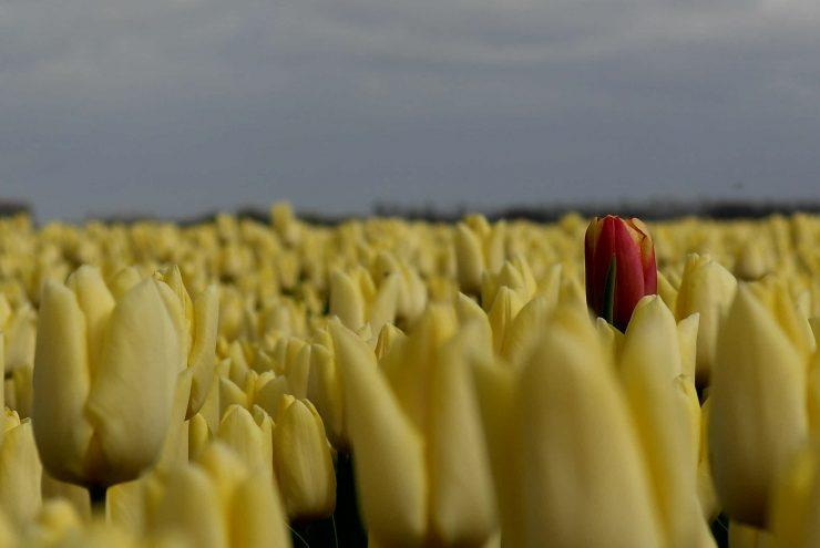 Rode tulp tussen de gele tulpen