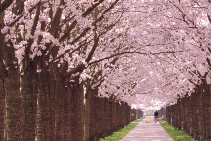 Laan met bomen met roze bloesem