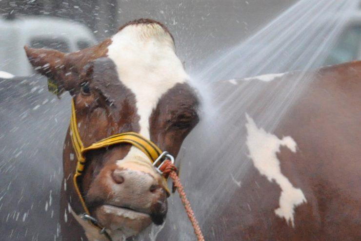 Een koe die gewassen wordt