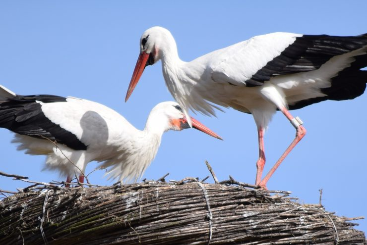 Ooievaars in het nest