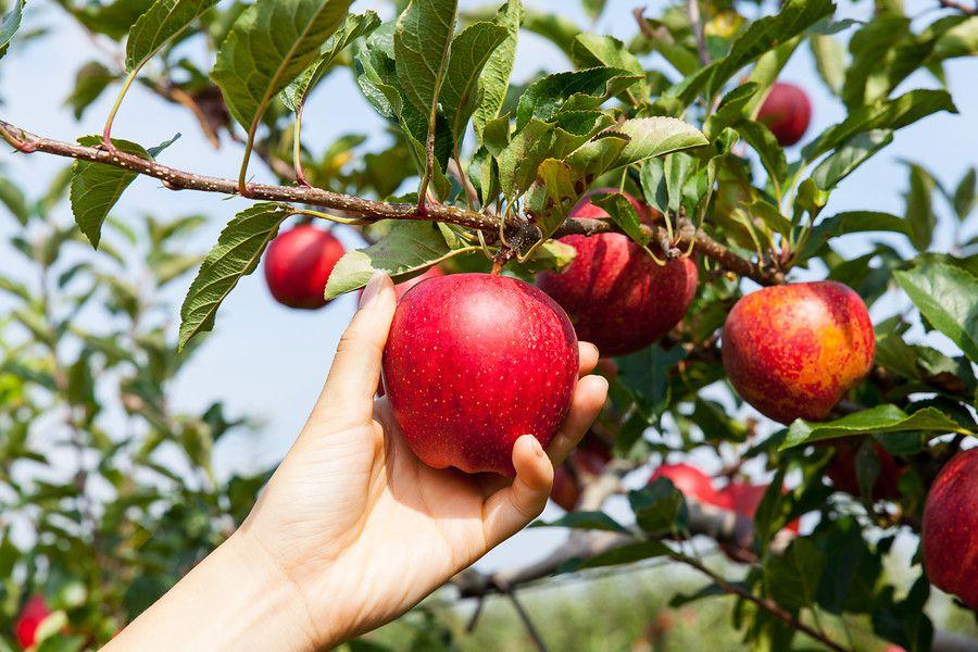 Flevoland grootste in biologische fruitsector