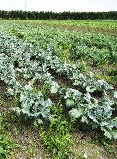 Afbeelding met groenten op een akker