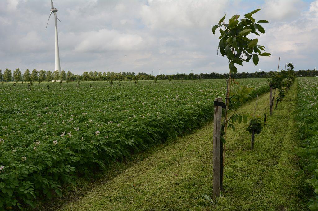 Foto van een net geplante boom naast een veld met aardappelplanten.