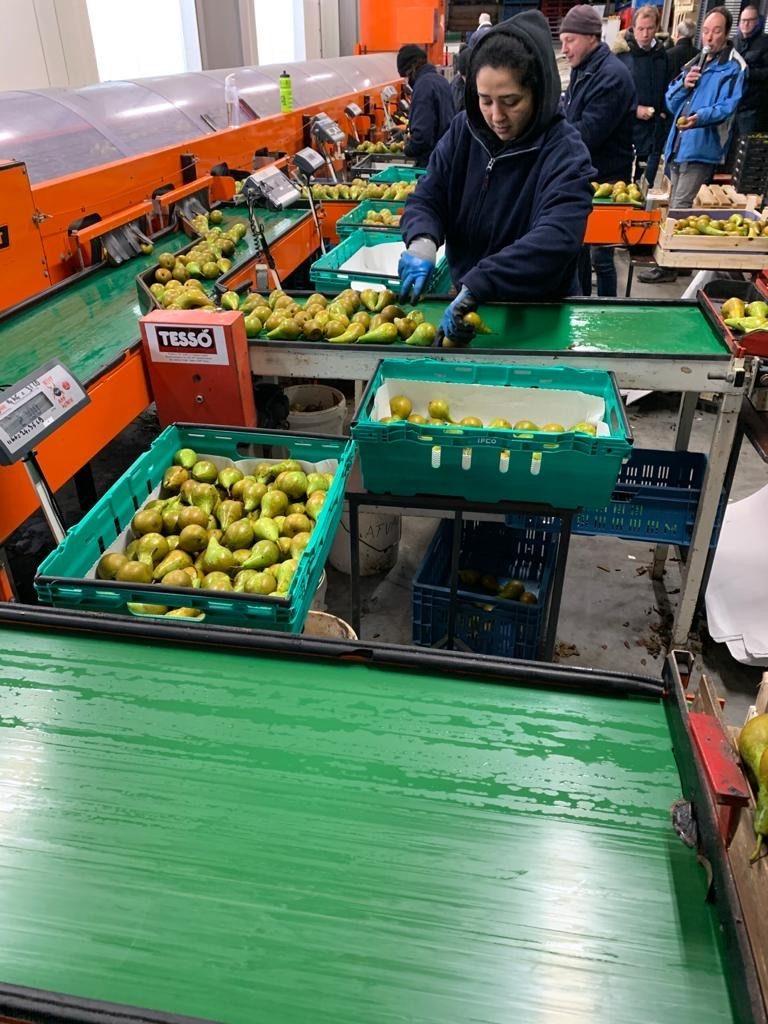 Bakken met peren worden gesorteerd aan de lopende band.